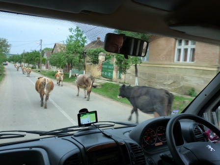 Cows walking on the street. Picture taken through windshield of the RV.