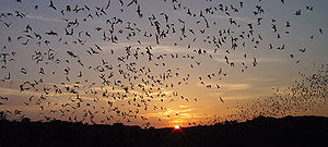 Many bats against the sunset